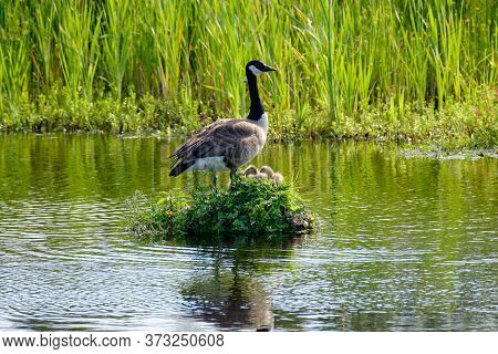 Canada Goose On Her Nest With Two Recently Hatched Chicks, A Nest Built On The Water, Soft Yellow Go