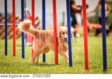 Nova Scotia Duck Tolling Retriever In Agility Slalom On Ratenice Competition. Amazing Day On Czech A