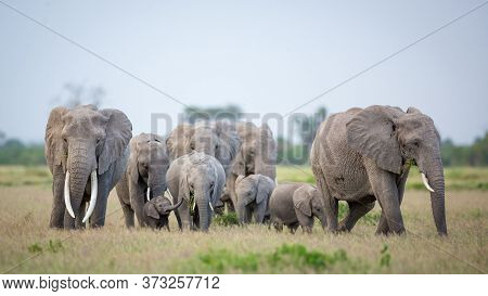 Elephant Family With A Female Elephant And A Baby Amongst Others Walking And Eating Grass In Ambosel