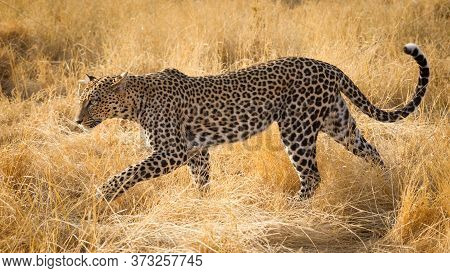 Adult Female Leopard Walking Through Yellow Dry Grass With Her Tail Curled Up In Samburu Kenya