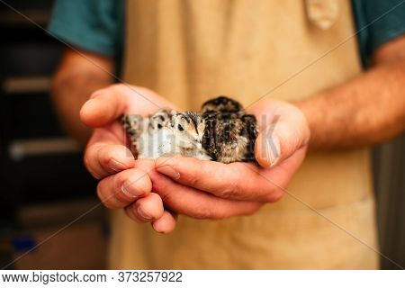 The Male Hands Of The Farmer Are Holding In Their Hands The Little Chickens Of A Hunting Pheasant. A
