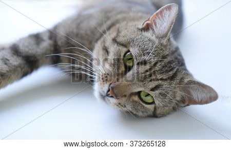 Close-up Portrait Of A Calm Adult Tabby Cat With Green Eyes. Cat Lying On The Windowsill And Looking