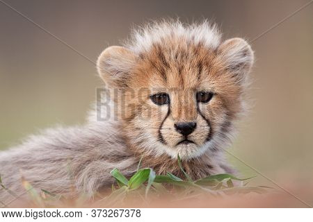 A Close Up Of A Small Cheetah Cub With Cute Face Looking Into The Camera With Smooth Background In K