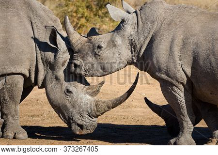A Close Up On The Heads Of Two White Rhinos With One Having An Enormous Horn In Warm Afternoon Light