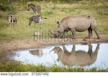 One Adult Rhino Walking Near Water With Three Zebra Grazing Nearby In Kruger Park South Africa