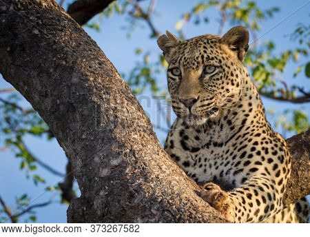 A Close Up Portrait Of Face Of A Beautiful Leopard Sitting In A Tree In The Warm Afternoon Light In