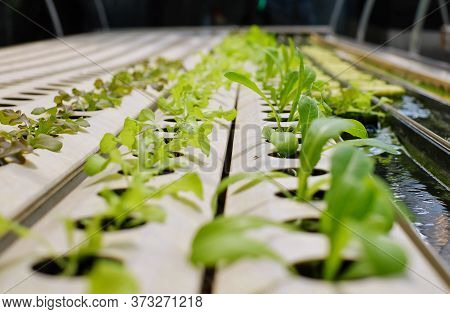 Organic Hydroponic Vegetable Cultivation Farm With Rows And Rows Of Green Vegetables On White Tube W