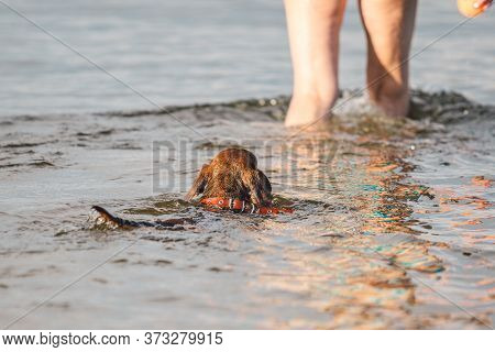 Elderly Woman Enjoying Outdoor Activities Playing Ball In River Swimming With Her Cute Dog Dachshund