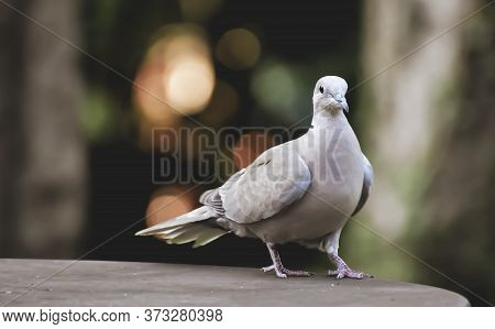 Fluffy Pigeon With Gray Plumage In The Garden Close-up.