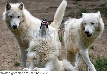 White Wolves In The Wild. Dangerous Forest Animals.