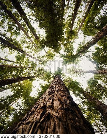 The Tree Trunks Of The Redwood Forest Shooting Up Into The Sky With Leafy Foliage Overhead