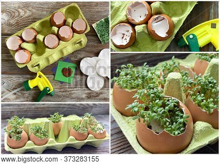 Collage Of 4 Photos, How To Grow Watercress At Home.