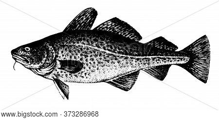 Atlantic Cod, Fish Collection. Healthy Lifestyle, Delicious Food. Hand-drawn Images, Black And White