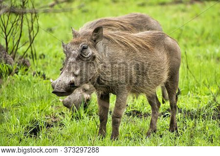 Warthog, Phacochoerus Africanus, Kruger National Park, South Africa, Africa