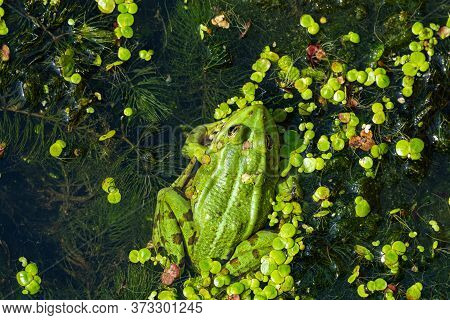 A Green Edible Frog, Pelophylax Kl. Esculentus On A Water Lily Leaf. Common European Frog, Common Wa