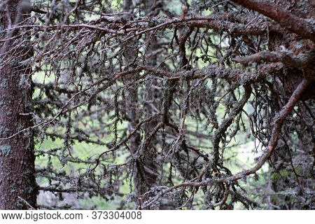 Branching Branches Of A Pine With Plat Growing On The Branches