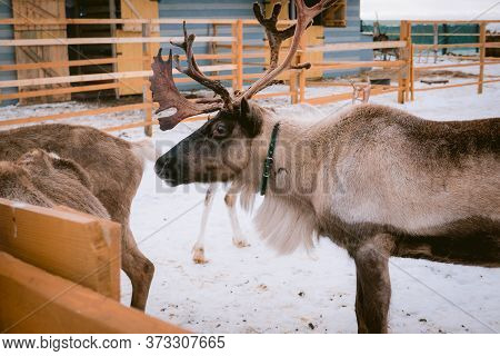 Raindeer At Animal Farm Paddock During Winter Season