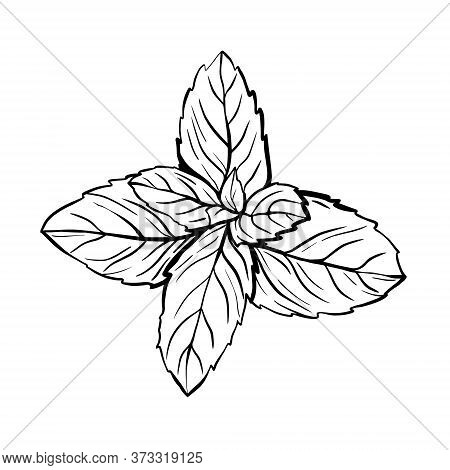 Peppermint Leaves Isolated On A White Background. A Sprig Of Mint With Leaves. The Herb Melissa Is A