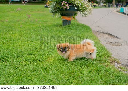 Beautiful Dog Pissing On The Green Grass