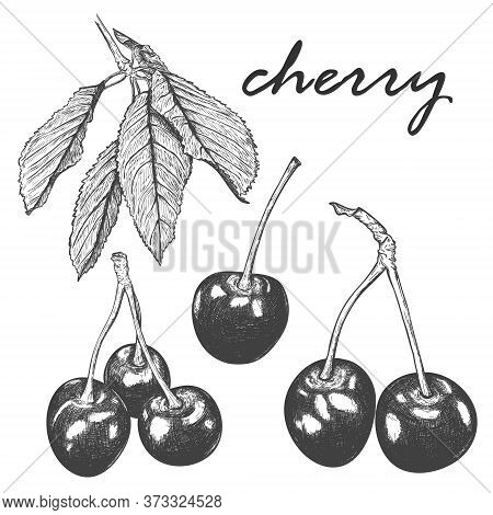 A Set Of Realistic Sketches Of Cherries And Cherry Tree Leaves. Several Leaves Of A Cherry Tree On O