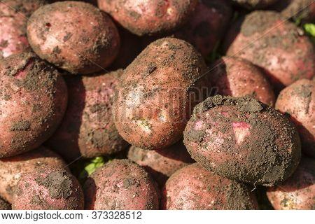Freshly Dug Red Potatoes On The Farm.
