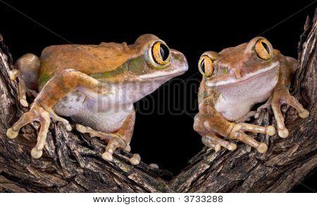 Big-Eyed Tree Frog Love