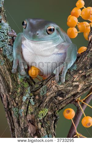 A whites tree frog is sitting on a branch near yellow berries. poster