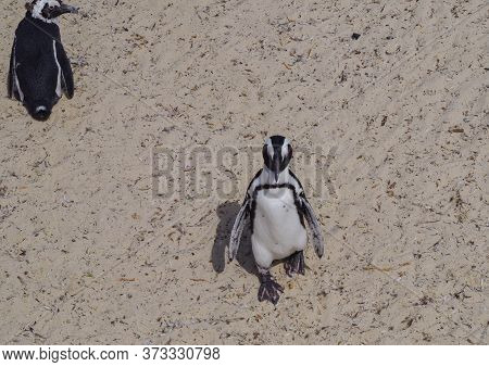 Penguins At Boulders Beach In Simon\'s Town South Africa