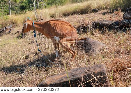 A Brown Goat Peeing On A Grassy Slope. Young Goat Defecate On Hillside With Dry Vegetation And Large