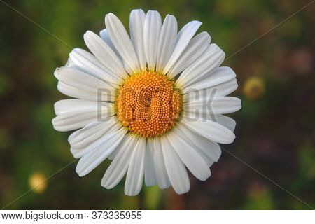 Close-up Camomile Flower Top View On Blurred Natural Background.