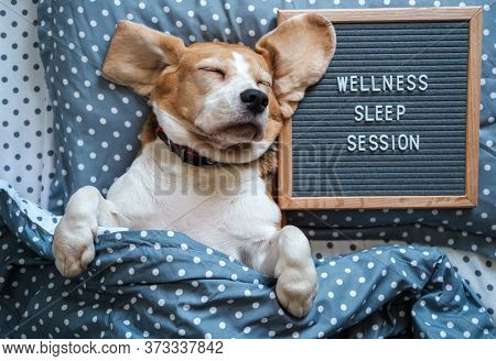 A Funny Dog Of The Beagle Breed Sleeps On A Pillow Next To A Felt Board With The Inscription In Engl