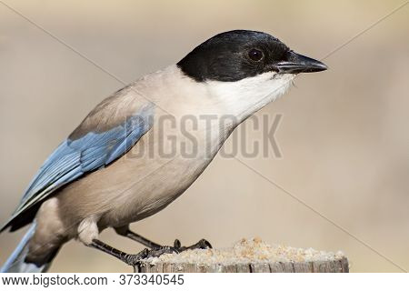 An Azure-winged Magpie In The Monfrague National Park. Cyanopica Cyanus.