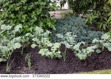 Broccoli Plants. Close-up Of Young Organic Broccoli And Onions On Vegetable Garden. Concept Of Healt