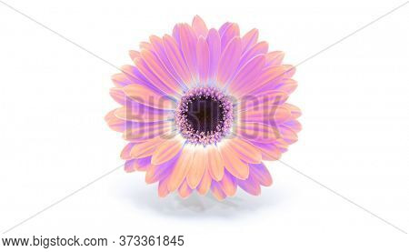Saturation luminosity color. Gerbera flower on white background.