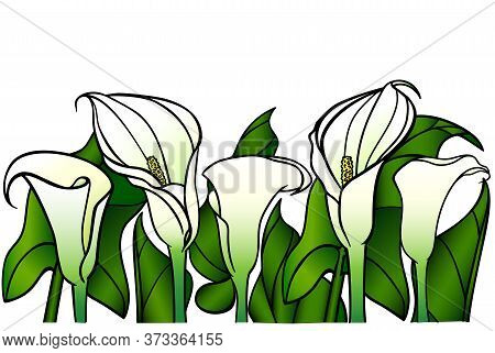 Calla Lilies With Large Green Leaves - Vector Full Color Picture. Garden Flowers - White Calla Lilie