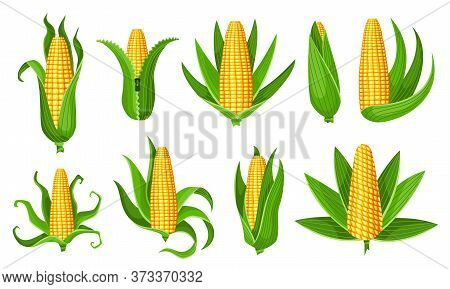 Corn Collection. Isolated Ripes Corn Ear. Yellow Corn Cobs With Green Leaves. Summer Farm Design Ele