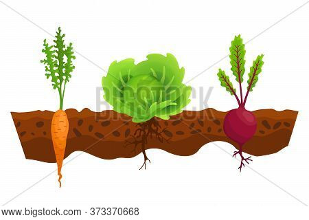 Vegetables Growing In The Ground. One Line Cabbage, Beet, Carrot. Plants Showing Root Structure Belo