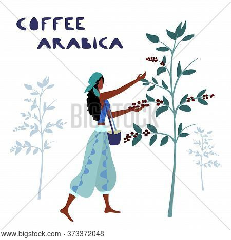 Woman Unidentified Coffee Farmer Is Harvesting Coffee Berries In The Coffee Farm