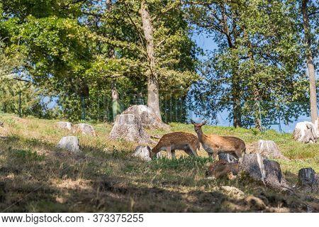 Female Doe Animals In The Meadow - Deer Calf, Hind