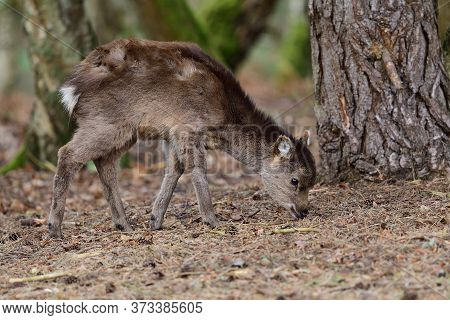 Portrait Of A Young Sika Deer (cervus Nippon) In The Woods