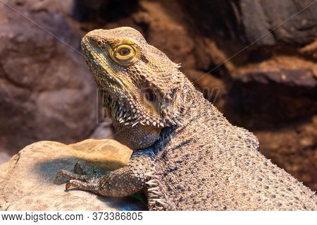 Close Up Of A Central Bearded Dragon (pagona Vitticeps) In Captivity