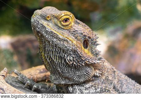 Head Shot Of A Central Bearded Dragon (pagona Vitticeps) In Captivity