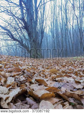 Trees Without Leaves In The Gloomy Autumn Forest, The Whole Earth Is Covered With Dry Leaves. It's A