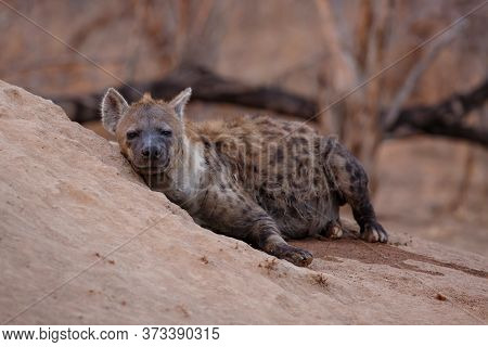 Hyena Coming Out Of The Den Early In The Morning In The Warm Light Of The Sunrise In A Game Reserve