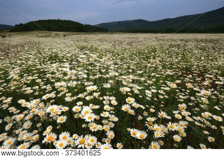 Chamomile Flower Field. Chamomile In Nature. Field Of Chamomiles On A Sunny Day In Nature. Chamomile