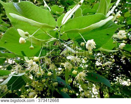 Flowering Lime Tree, Linden Tree On A Bright Sunny Day In Early Summer