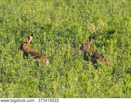Brown Colored Hare - Fast Runner In Nature