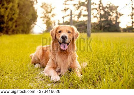 A Golden Retriever Dog Laying Down On A Trail On Country Road With Green Grass And Old Fencing