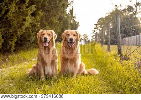 Close Up Pair Of Purebred Playful Golden Retriever Dogs Outdoors On Country Road At Sunset