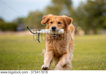 Golden Retriever Dog Training To Retrieve A Bumper At A Large Grass Field At Sunset